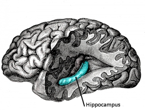 emphasizing-hippocampus